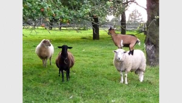 Asvet Spezial, flüssig, Kräuter für Schaf + Ziege, Bio, keine chem. Wurmkur